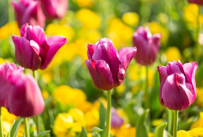 northpark tulips