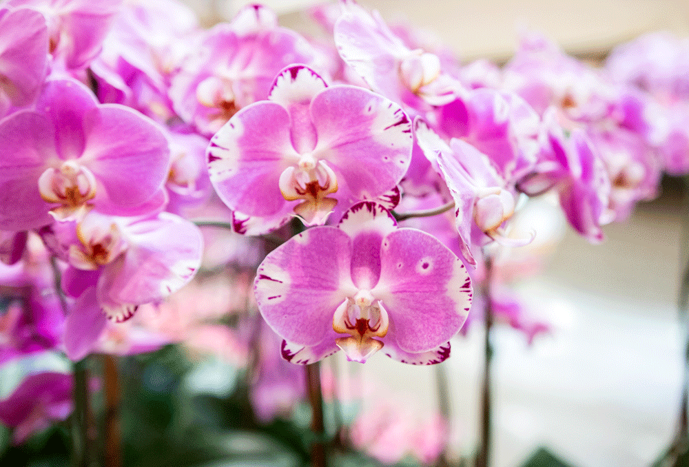 northpark orchids purple