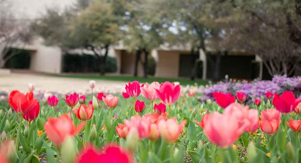 northpark tulips 2021